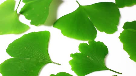 ginkgo leaf : Ginkgo biloba green leaf rotating pattern macro texture background backdrop footage video.