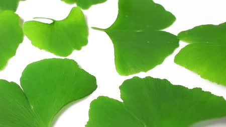 biloba : Ginkgo biloba green leaf rotating pattern macro texture background backdrop footage video.