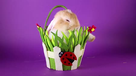 royalty : Spring pet rabbit in easter basket. Stock Footage