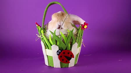 лань : Spring pet rabbit in easter basket. Стоковые видеозаписи