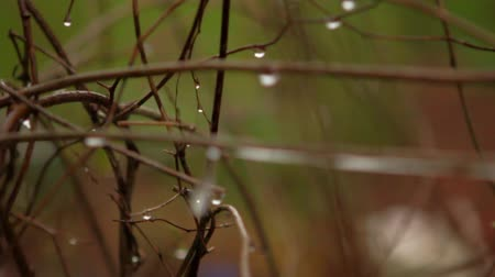 deszcz : Slow Motion Water Drip off branches rack focus Wideo