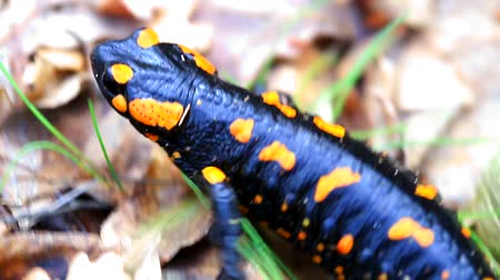 amphibia : Fire salamander in the forest closeup Stock Footage