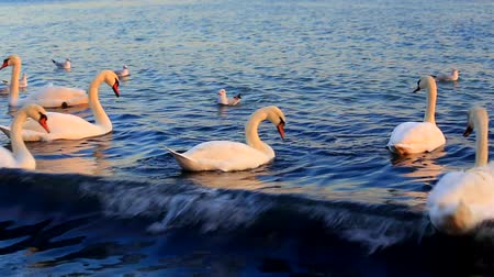 лебедь : Beautiful swans and seagulls swim in the sea