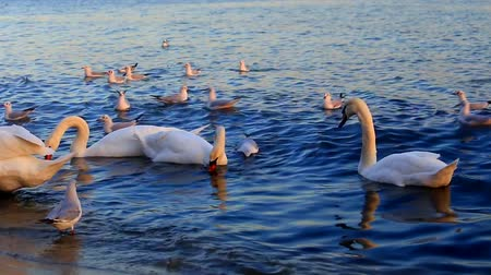 swans swimming : Beautiful swans and seagulls swim in the sea