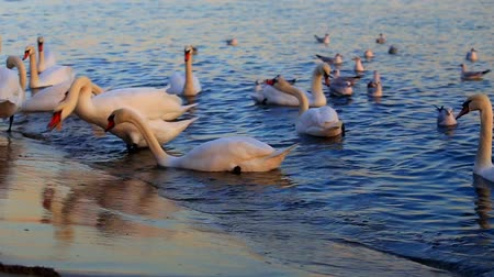meeuw : Beautiful swans and seagulls in the blue sea Stockvideo