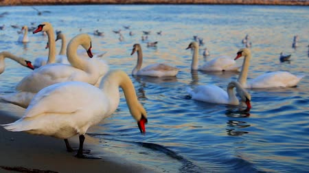 swan silhouette : Beautiful swans and seagulls in the blue sea Stock Footage