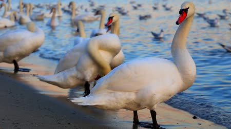swans swimming : Beautiful swans and seagulls in the blue sea Stock Footage