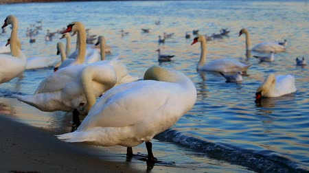 gaivota : Beautiful swans and seagulls in the blue sea Stock Footage