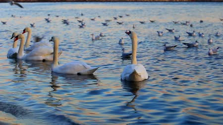 pływanie : Beautiful swans and seagulls in the blue sea Wideo