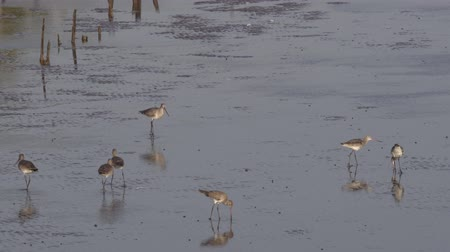 бдительность : Group of Birds (Long-billed dowitcher) foraging food by dipping a mouth into mudflats during low tide at sunset of Bang Pu seaside (gulf of Thailand)