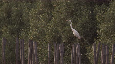 бдительность : Tranquil Egret perches on bamboo stump