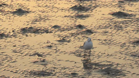 бдительный : Seagull looks out for danger while resting on mudflats at sunset during low tide of gulf of Thailand