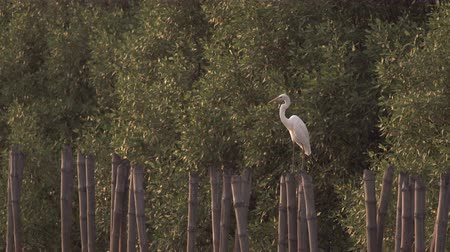 farkında olma : Great Egret raises head up for looking out for danger on a bamboo stump