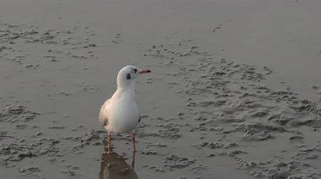 farkında olma : Seagull looks out for danger while resting on mudflats at sunset during low tide of gulf of Thailand