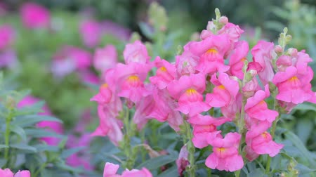 Pink flower and green leaf background in flower garden at sunny summer or spring day for beauty decoration and agriculture concept design. Snapdragon flower.