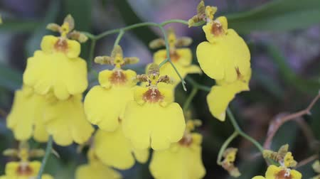 Orchid flower in orchid garden at winter or spring day for beauty and agriculture concept design. Oncidium goldiana Orchid. Stok Video