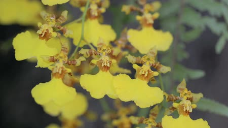 phalaenopsis : Orchid flower in orchid garden at winter or spring day for beauty and agriculture concept design.  Oncidium goldiana Orchid.