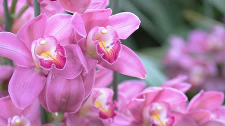 orchidea : Orchid flower in orchid garden at winter or spring day for beauty and agriculture concept design. Cymbidium Orchid. Stock mozgókép