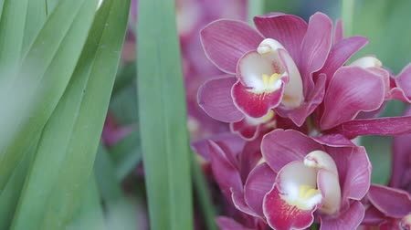 Orchid flower in orchid garden at winter or spring day for beauty and agriculture concept design. Cymbidium Orchid. Stok Video