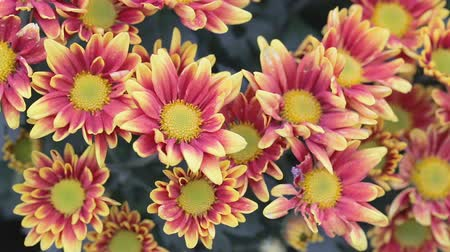 Red and yellow flower in garden at sunny summer or spring day for beauty decoration and agriculture design. daisy flower.
