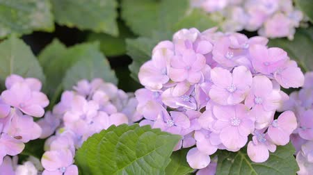 hortênsia : Purple Hydrangea flower and green leaf background in garden at sunny summer or spring day for beauty decoration and agriculture design. Vídeos