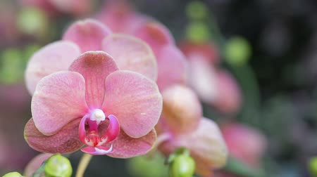 phalaenopsis : Orchid flower in orchid garden at winter or spring day for postcard beauty and agriculture idea concept design. Phalaenopsis orchid. Stock Footage