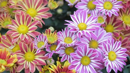 Daisy flower and green leaf background in flower garden at sunny summer or spring day for beauty decoration and agriculture design.