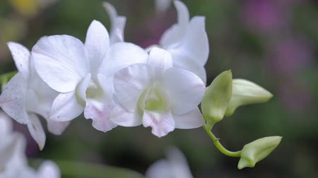Orchid flower in orchid garden at winter or spring day for beauty and agriculture concept design. Dendrobium Orchid.