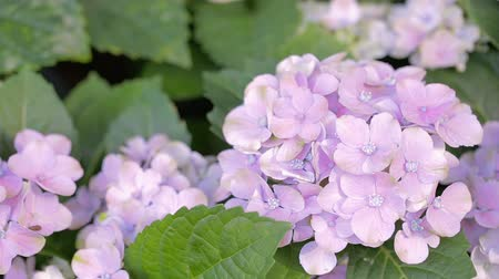 Purple Hydrangea flower and green leaf background in garden at sunny summer or spring day for beauty decoration and agriculture design. Stok Video