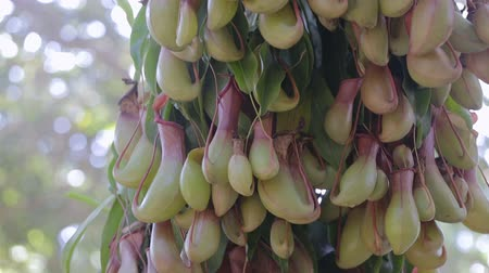 meat pockets : Nepenthes or tropical pitcher plants or monkey cups.