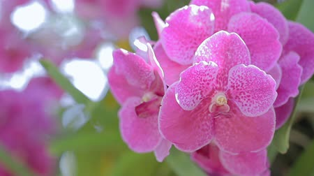 Orchid flower in orchid garden at winter or spring day for beauty and agriculture concept design. Vanda Orchid. Stok Video