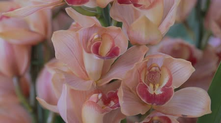 Orchid flower in orchid garden at winter or spring day for beauty and agriculture design. Cymbidium Orchid. Stok Video