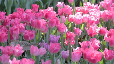 Tulip flower and green leaf background in tulip field at winter or spring day for beauty decoration and agriculture design. Stok Video