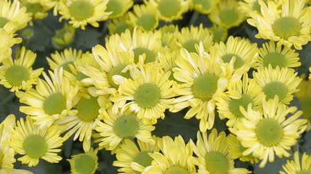 Yellow flower and green leaf background in garden at sunny summer or spring day for beauty decoration and agriculture design.