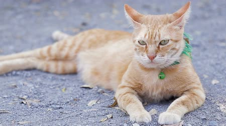 Cute domestic cat lying on grounds. Thai orange and white cat.