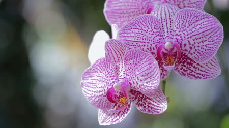 Orchid flower in orchid garden at winter or spring day for beauty and agriculture design. Phalaenopsis Orchid or Moth Orchid.