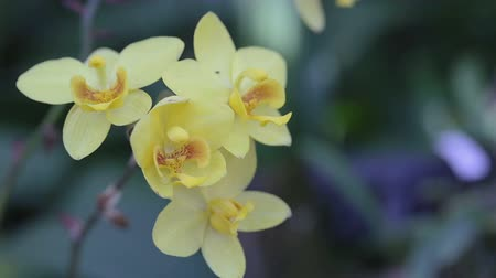 Orchid flower in orchid garden at winter or spring day for postcard beauty and agriculture idea concept design. Stok Video