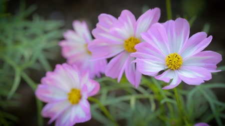 Cosmos flower in garden at winter or spring day for beauty and agriculture concept design.