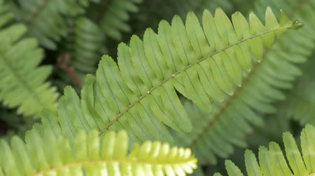 Ferns in tropical forest. Close-up The natural pattern of Pteridophyta fern.
