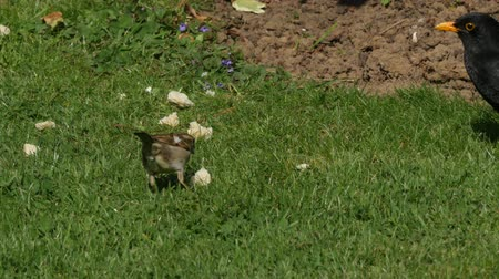 turdus merula : Blackbird eating bread in the grass