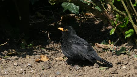 turdus merula : Blackbird in the garden