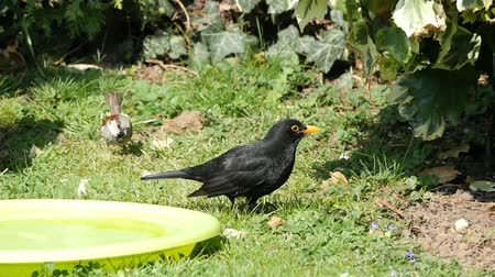 turdus merula : Blackbird in the grass slow motion