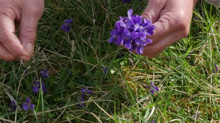 woman picking purple in the garden, close-up of hands