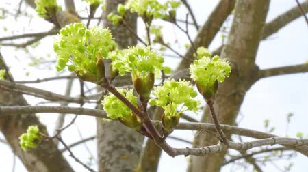 buds in bloom on the tree Stok Video