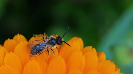 beporzás : close up of insect in a flower marigold