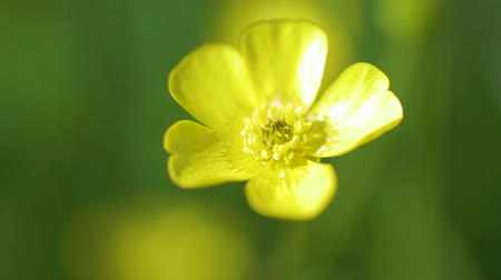 florido : A close-up shot of a yellow Buttercup flower moving in the wind.