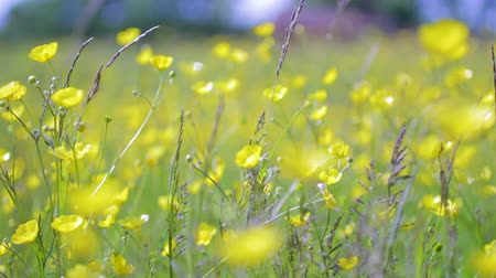 florido : A field of buttercup flowers moving in the wind on a sunny summer day. A panning shot full of green and yellow colors. Stock Footage