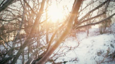 gałązki : Sunlight shining through the branches of a tree in a park meadow on a snowy winter day in slow motion.