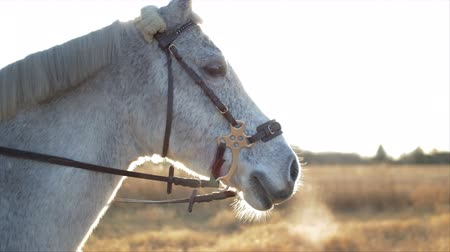 herélt ló : A white horse breathing smoke through his nose on a cold winter day.