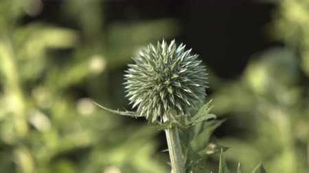 spiny : A close-up of a beautiful echinops flower in springtime.